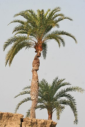 Description de l'image  Wild Date Palm (Phoenix sylvestris) tree at Purbasthali W IMG 1494.jpg.