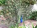Wild Peacock in California - panoramio.jpg