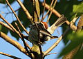 Wildlife birds 18 - West Virginia - ForestWander.jpg