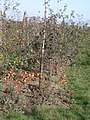 Windfall apples in Hernhill orchard - geograph.org.uk - 611108.jpg