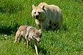 Wolf Vs Bear (40222610).jpeg