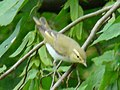 Wood Warbler-Mindaugas Urbonas-1.jpg