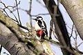 Woodpecker - March 2010 (4451717764).jpg