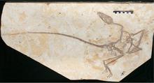 Wulong bohaiensis full skeleton.png