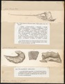 Xiphias gladius - 1700-1880 - Print - Iconographia Zoologica - Special Collections University of Amsterdam - UBA01 IZ13600005.tif