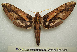 Xylophanes ceratomioides sjh.jpg