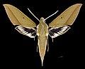 Xylophanes schwartzi MHNT CUT 2010 0 226 rte Gualaceo-Limon PK.44 Morona Santiago, Equateur male dorsal.jpg