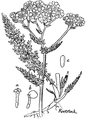 Yarrow or Milfoil-Medicinal Herbs Poisonous Plants-151-87.png