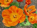 Yellow-Orange Tulips - Flickr - aleksei86photo.jpg