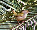 Yellow-bellied Prinia 2.jpg