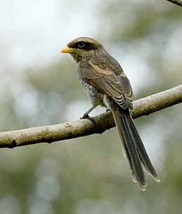Yellow-billed Shrike (Corvinella corvina).jpg