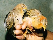 Yellow-legged Button Quails Turnix tanki Amravati (3). Maharashtra, India.jpg