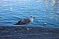 Yellow-legged Gull in Barcelona 6.jpg