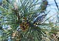 Yellow-throated Warbler (26282076402).jpg