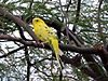Yellow budgerigar.jpg