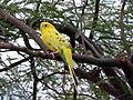 Yellow budgerigar.jpg