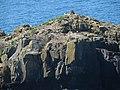 Ynys Penpleidian (island), Bae Caerfai bay, S of Tydddewi (St David's), Sir Benfro (Pembrokeshire), Cymru (Wales) 04.jpg