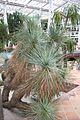 Yucca Thompsoniana & Mexico - EEUU (2) (11981983535).jpg