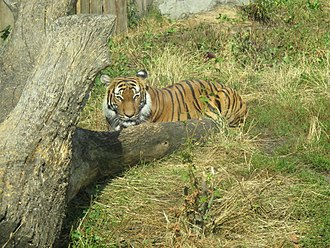 Malayan tiger - Tiger in the Ústí nad Labem Zoo, Ústí nad Labem in Czech Republic