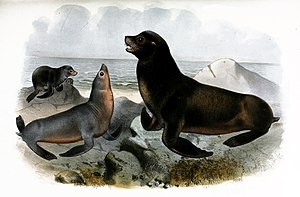 California sea lion - Lithography by Joseph Smit.