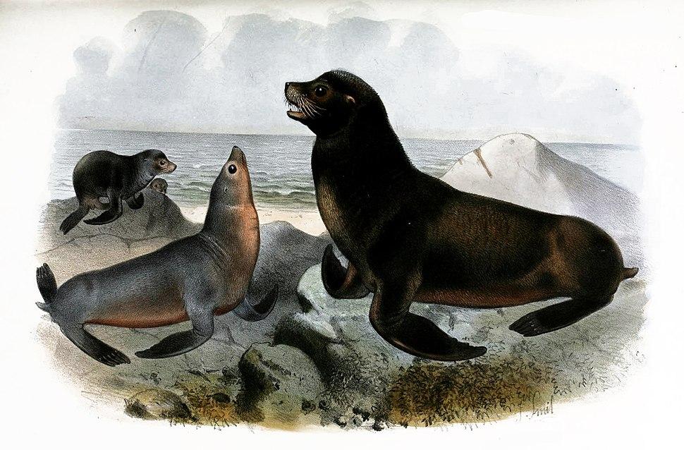 Zalophus californianus J. Smit