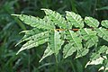 Zanthoxylum rhetsa leaves.jpg