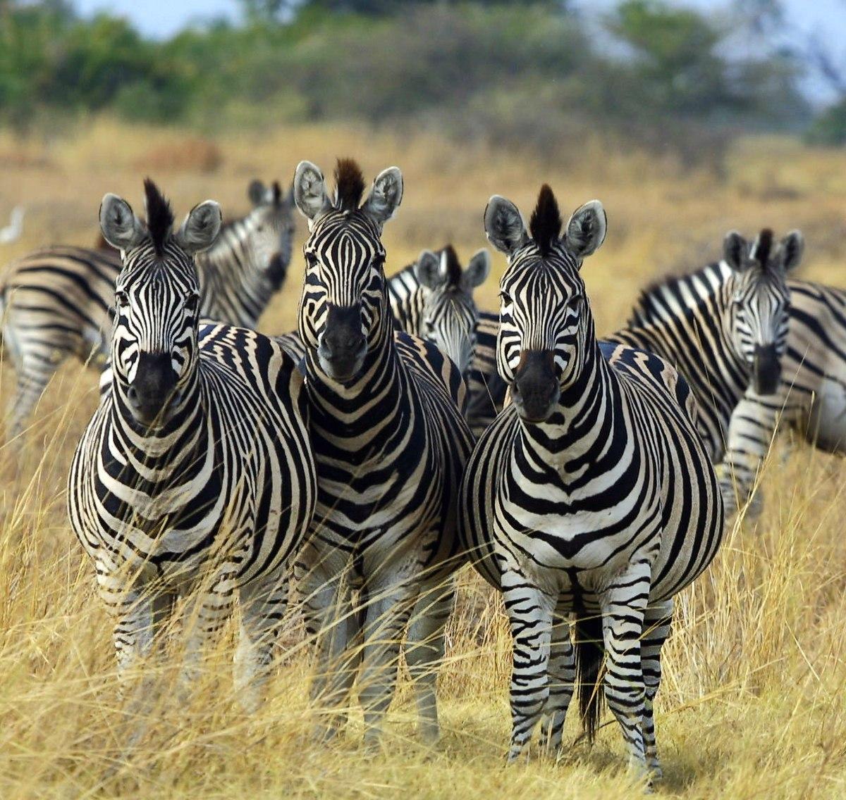 Zebra wikipedia - Dessin zebre facile ...