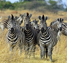 A group of six plains zebra
