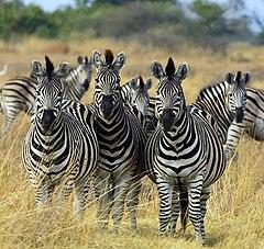 Bir zebra alttürü - Equus burchelli chapmani