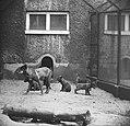Zes zwarte pups in Artis geboren Moeder wolf met de zes kleintjes, Bestanddeelnr 915-2804.jpg