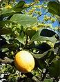 Zitronen an der Oos - panoramio.jpg