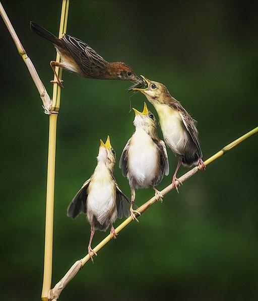 Zitting cisticola feeding its chicks