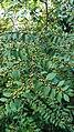 Ziziphus oenoplia in Kerala.jpg