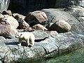 Zoo isbjørn - panoramio (1).jpg