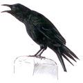 Zwarte kraai Corvus corone Jos Zwarts 3.tif