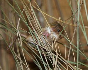 Harvest mouse climbs