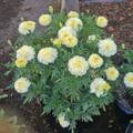 'Vanilla Hybrid' marigold - Tagetes erecta.png