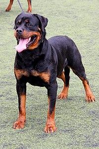 (01) Rottweiler 5830118718 ce2570e348 o.jpg