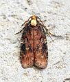 (0709) Agonopterix liturosa - Flickr - Bennyboymothman.jpg