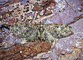 (1852) Brindled Pug (Eupithecia abbreviata) (33876532546).jpg