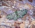 (1860) Green Pug (Pasiphila rectangulata) (34967297395).jpg