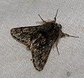 (1925) Small Brindled Beauty (Apocheima hispidaria) (4412339707).jpg