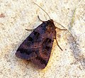(2131) Square-spotted Clay (Xestia rhomboidea) (7855987570).jpg