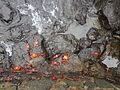(Grapsus grapsus) Puerto Ayora Galápagos Islands pic. a3.JPG