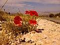 Παπαρούνες - panoramio.jpg
