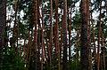 Балатовский (Черняевский) лес.jpg
