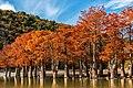 Болотные Кипарисы на озере Сукко.jpg