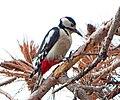Большой пёстрый дятел - Dendrocopos major - Great spotted woodpecker - Голям пъстър кълвач - Buntspecht (32759668390).jpg
