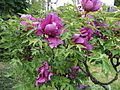 Ботанічний сад ім. І.Фоміна 134.JPG