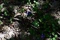 Вепрове Фіалка DSC 0567.jpg